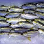春旬(はるどき)の江戸前高級鮮魚