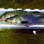 夏旬(なつどき)の江戸前高級鮮魚